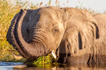 at waterhole: Salvaje de la natación del elefante africano en un pozo de agua Foto de archivo