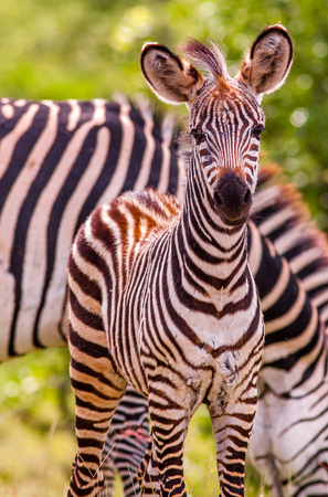 wild animal: Wild African baby zebra and mother