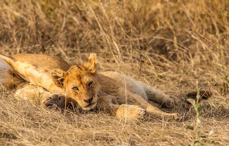 single animal: Lion cub resting Stock Photo
