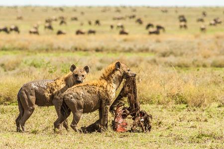 hienas: Hienas con una matanza