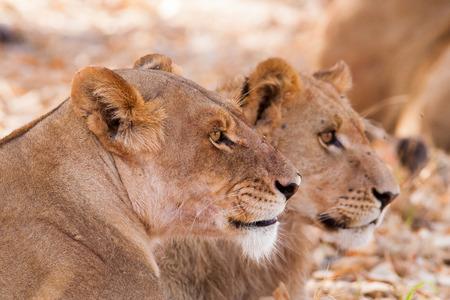 lion cub: Lion cub and mother