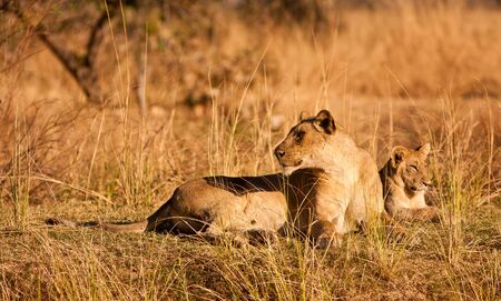 single animal: Lioness and lion cub Stock Photo