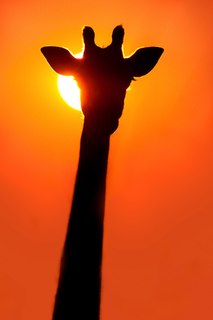 giraffe silhouette: Giraffe silhouette at sunset