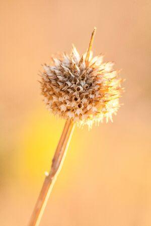 thistle plant: Dried Thistle Plant