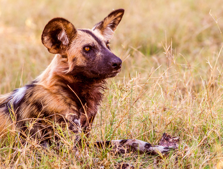 african wild dog: African Wild Dog Stock Photo