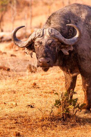 Wild African cape buffalo kijken naar de camera