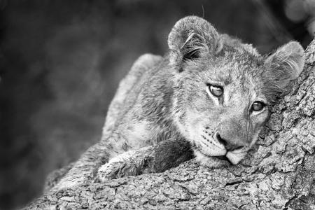leuke leeuwenwelpje in zwart-wit