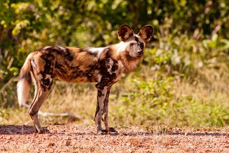 Bedreigde wilde Afrikaanse wilde hond