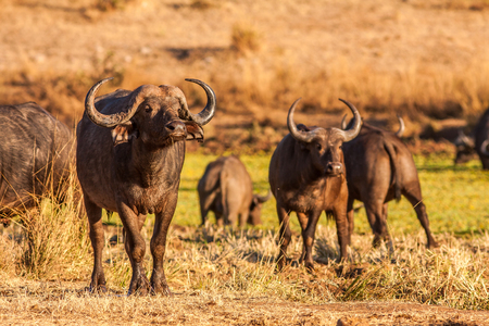 Herd of wild African cape buffalo