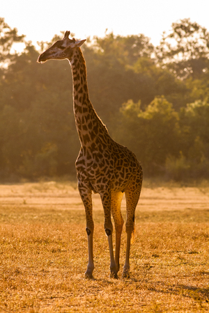 Een wilde Afrikaanse giraffe bij zonsondergang