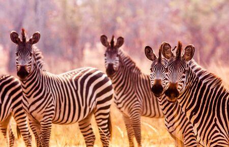 single animal: Herd of wild zebra in the African savannah