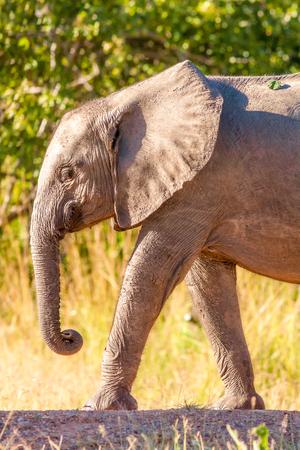 Baby olifant lopen naar een waterhole Stockfoto