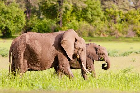 Wilde Afrikaanse olifanten drinken bij een waterput