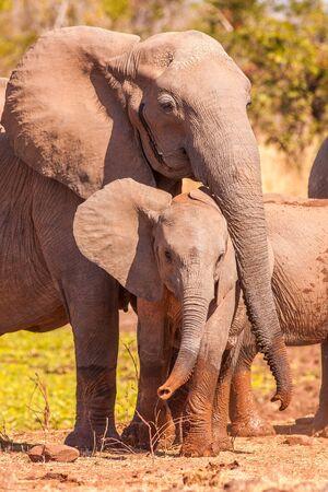 Moeder olifant het beschermen van haar baby Stockfoto