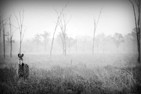 Wilde Zebra in zwart-wit