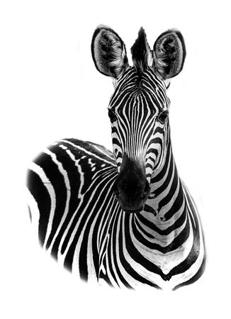 Zebra portret in high key Stockfoto