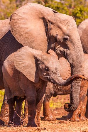 Baby Afrikaanse olifant intrekking van haar slurf
