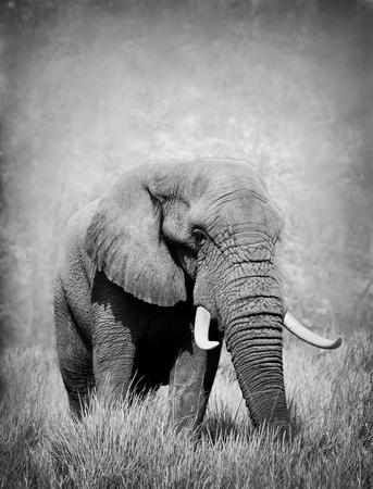 Wilde Afrikaanse olifant in zwart-wit Stockfoto