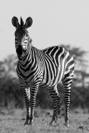 Wilde Afrikaanse zebra in zwart-wit