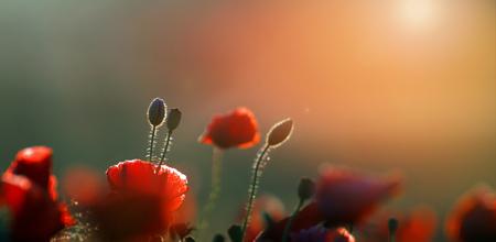 Questa incredibile foto di fiori di semi di papavero è stata scattata nel deserto dei laghi polacchi - Mazury alle 4 del mattino. Ne è valsa la pena! Archivio Fotografico - 93066364