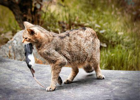 Wildcat with prey, rat in mouth Imagens