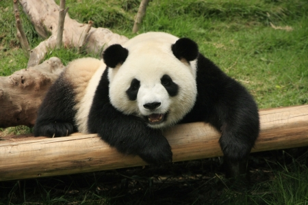Giant panda bear  Ailuropoda Melanoleuca , China Фото со стока