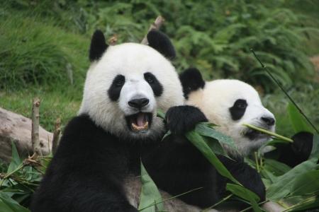 giant panda: Giant panda bears eating bamboo  Ailuropoda Melanoleuca , China