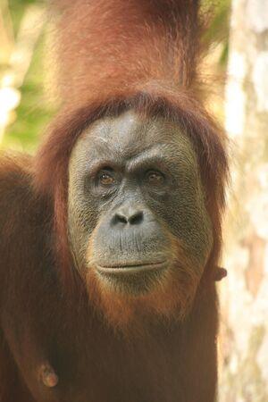 orang: Portrait of female orangutan (Pongo abelii), Sumatra, Indonesia