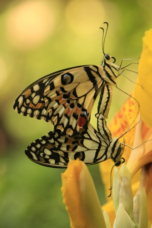 copulate: Lime Butterfly butterflies (Papilio demoleus) mating on yellow flowers Stock Photo