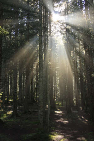 Sun rays in morning forest Stock Photo - 14593228