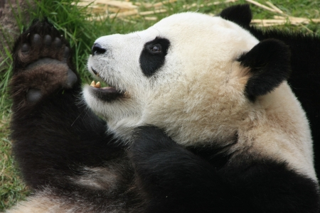 Giant panda bear  Ailuropoda Melanoleuca , China Archivio Fotografico