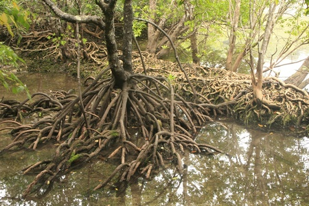 Mangrove tree (Rhizophora sp.) with exposed roots, Southeast Asia Stok Fotoğraf