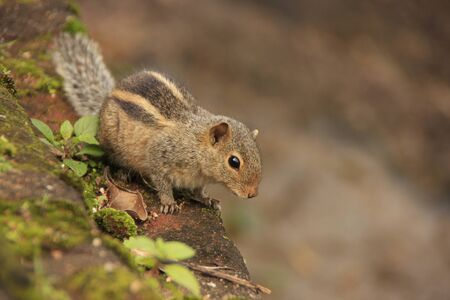 Nothern palm squirrel (Funambulus pennantii) sitting on stone wall Imagens