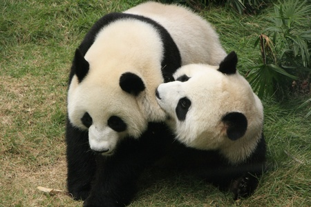 Giant panda bears  Ailuropoda Melanoleuca  playing together , China