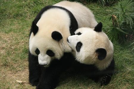 Giant panda beren Ailuropoda Melanoleuca samen spelen, China Stockfoto