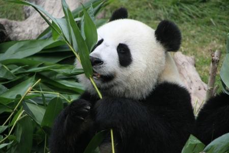 Portrait of giant panda bear (Ailuropoda Melanoleuca) eating bamboo, China 版權商用圖片