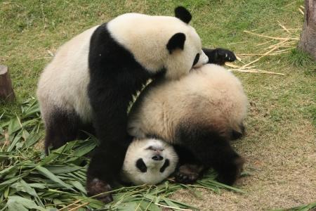 Giant panda beren (Ailuropoda Melanoleuca) samen spelen, China
