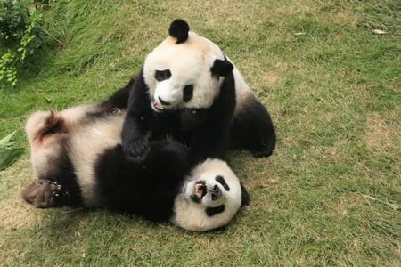자이언트 팬더 곰 (판다 속 Melanoleuca)이 함께 중국을 재생