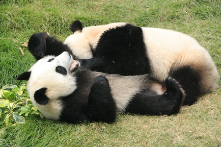 Giant panda bears (Ailuropoda Melanoleuca) rolling together, China