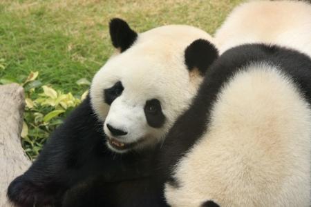 Giant panda bears (Ailuropoda Melanoleuca) playing together, China photo