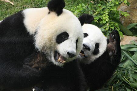 Giant panda bears (Ailuropoda Melanoleuca) playing together, China Stock Photo