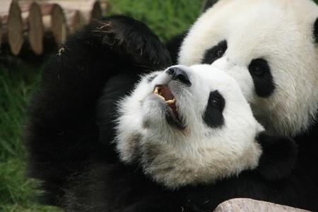 panda bears (Ailuropoda Melanoleuca) playing together, China