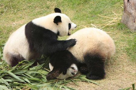panda bears (Ailuropoda Melanoleuca) rolling together, China