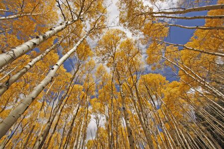 quaking aspen: autumn colored aspen trees, rocky mountains, Colorado