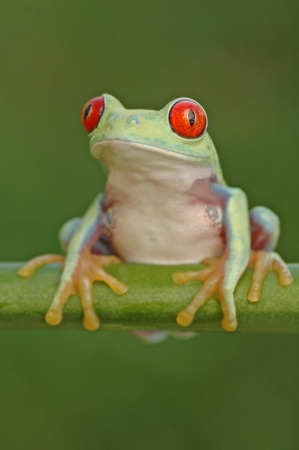 red eyed: red eyed tree frog Stock Photo