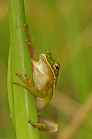 cinerea: Green Treefrog (Hyla cinerea) Stock Photo