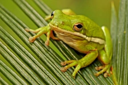 treefrog: Green Treefrog (Hyla cinerea) Stock Photo