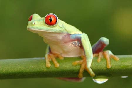 callidryas: Red-eyed treefrog (Agalychnis callidryas)