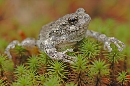 camoflauge: Grey treefrog  Hyla versicolor
