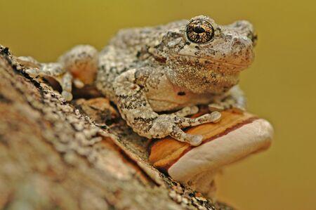 hyla: Grey treefrog  Hyla versicolor